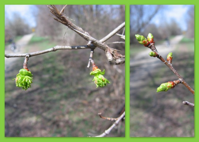 Nature trail scenery - buds growing